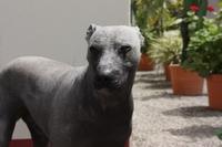 Inca_dog02
